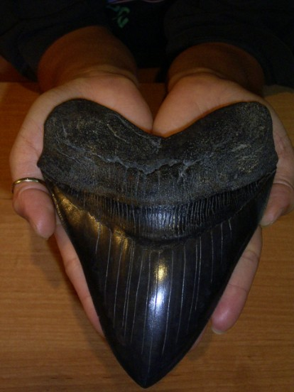 Megalodon sharks: information and teeth for sale